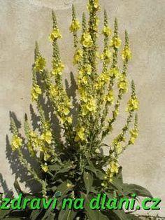 Divizna velkokvětá | Zdraví na dlani Herb Garden, Home And Garden, Medicinal Herbs, Cactus Plants, Korn, Life Is Good, Diy And Crafts, Remedies, Health