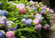Правила выращивания крупнолистных гортензий - Цветник и ландшафт