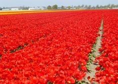 The vivid colours of the tulip fields are a typical sight in Holland during the spring. The bright red, pink and yellow colours are simply beautiful.