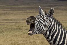 Burchell's Zebra, Ngorongoro Crater, Tanzania