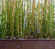 If you are looking for privacy and noise reduction for your yard a bamboo hedge may be right for you. Bamboo is wonderful for hedges since it is fast growing and the bamboo canes grow close together. Bamboo is also a beautiful plant that will enhance the Bamboo Hedge, Bamboo Planter, Planter Boxes, Planters, Long Planter, Bamboo Fencing, Bamboo Wall, Hedges, Bamboo Canes