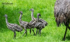 """Hellabrunn Zoo Munich currently has five new Emu chicks! The chicks hatched between May 8th and May 14th, and the new mob is currently under the protective care of their ten-year-old father """"Kanoro""""."""