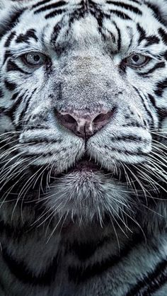 W la tigre