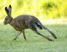Brown Hare, sharp turn on short dewy grass. Suffolk. Lepus europaeus - | I never knew they got this size!