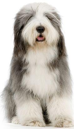 Viejo Pastor Inglés - Bobtail Es un perro grande, pesa de 30 a 35 kg, es noble cariñoso y activo. Por lo general no es agresivo, se lleva bien con los niños y otros perros. Exige muchos cuidados y atenciones, cepillado y ejercicio diario. Recomendamos bañarlo una vez al mes, no olvides secarle bien. Algunos nacen sin cola o se les amputa a los que nacen con un muñoncito. Esta raza no te va a defraudar, son obedientes, fieles, cariñosos, protectores y hermosos. Apapáchalo con lo mejor!