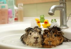 hamster best friends:) Wearing can we please morph into these adorable hamsters and bath together in a sink Hamsters, Chinchillas, Rodents, Baby Animals, Funny Animals, Cute Animals, Beautiful Creatures, Animals Beautiful, Animal Pictures