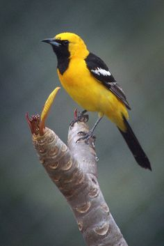 One these beautiful Hooded Orioles is hanging out in our yard ♡ Pretty Birds, Beautiful Butterflies, Beautiful Birds, Reptiles, Wild Animals Pictures, Bird Pictures, Exotic Birds, Colorful Birds, All Birds