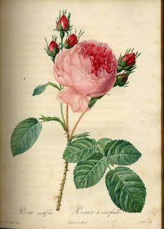 The Botanical Prints of Pierre-Joseph Redouté (1759-1840)