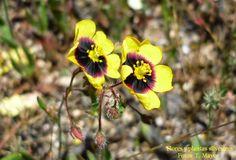 """Flores y plantas silvestres: """"Tuberaria guttata"""". Hierba turnera, Jara manchada."""