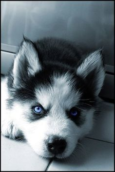 Husky puppy with blue eyes!