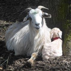 Adopt one of our lovely new born kids http://www.chianticashmere.com/ADOPT-A-KID-AT-A-DISTANCE/