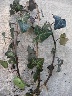 Hedera helix - English Ivy - Kit - 5 pre bonsai trees