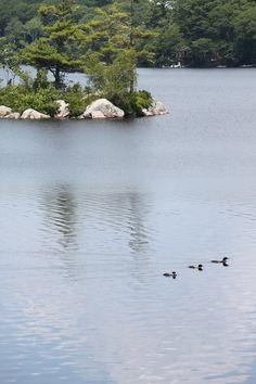 loon pals Backyard Birds, Pond, Maine, River, Outdoor, Water Pond, Outdoors, Outdoor Games, Outdoor Living