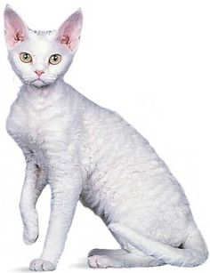 Devon Rex is a breed of intelligent, short-haired cat that emerged in England during the 1960s. They are known for their slender bodies, wavy coat, and large ears. These cats are able to be taught tough tricks.