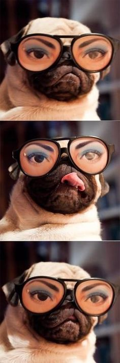 Pug with funny glasses