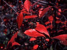 Aronia melanocarpa c.s. (Black Chokeberry) Seed Description
