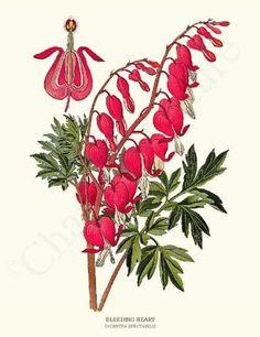 Vintage Botanical Illustration: Bleeding Heart FlowerArt  Print, $19.95