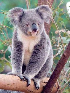 Koala Bears - Crystalinks