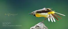 http://ift.tt/1K6283m #animals Eastern yellow wagtail by wasifyaqeen http://ift.tt/23HoSxn #pierceandbiersadorf
