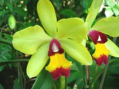 orchid Cattleya Rimfire
