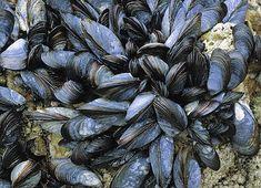 Bildresultat för blåmusslor