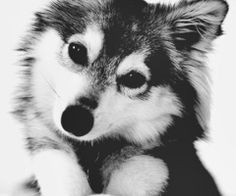 Baby husky cute black and white animals animal wolf animal pictures husky Cute Creatures, Beautiful Creatures, Animals Beautiful, Beautiful Images, Cute Puppies, Cute Dogs, Dogs And Puppies, Baby Animals, Cute Animals