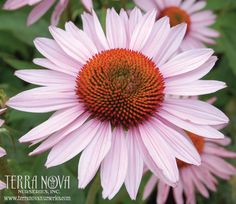 Echinacea 'Hope' - Calm, fragrant, soft pink flowers of great size, fragrance, and substance adorn this long blooming perennial. It is dedicated to the breast cancer survivors and the memories of those who have succumbed to breast cancer. Long Blooming Perennials, Hardy Perennials, Exotic Plants, Green Plants, Unique Plants, Tropical Plants, Front Yard Flowers, Herb Art, All About Plants