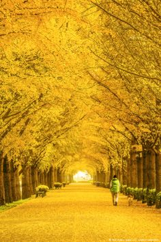 Asan South Korea by Nam-sun Cho Beautiful Landscapes, Beautiful Gardens, Beautiful Places, Beautiful Pictures, Tree Tunnel, Autumn Scenery, Colorful Trees, Mellow Yellow, Bright Yellow