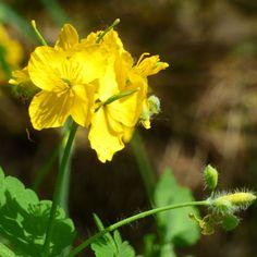 Vlaštovičník větší - zajímavá léčivá bylina Nova, Plants, Plant, Planets