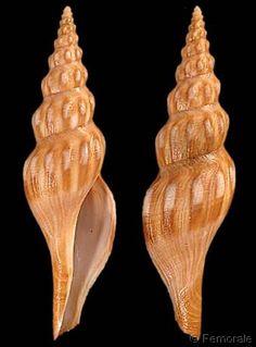 Comitas peelae  Bozzetti, L., 1993    Shell size  50 - 105 mm  Réunion; Philippines