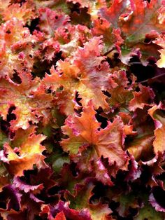 Make a statement in your garden with the dazzling foliage color, texture and shapes Heuchera perennials provide. Shop for your plants from Bluestone Perennials. Full Sun Perennials, Flowers Perennials, Planting Flowers, Flower Gardening, White Flowers, Beautiful Flowers, Coral Bells Heuchera, Hummingbird Plants, Border Plants