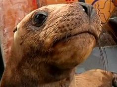Sea lions released in Peruvian waters