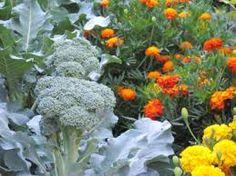 edible marigolds - Google Search