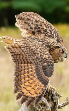Located Near Snowy Owl Hotel, The Eurasian eagle-owl (Bubo bubo) is a species of eagle-owl that resides in much of Eurasia. It is also called the European eagle-owl and in Europe, it is occasionally abbreviated to just eagle-owl. Eurasian Eagle Owl, Owl Wings, Owl Feather, Long Eared Owl, Owl Quilts, Owl Photos, Felt Owls, Great Horned Owl, Beautiful Owl