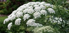 QUEEN ANNE'S LACE | The Diggers Club