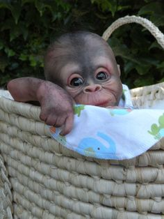 Bindi, reborn baby orangutan