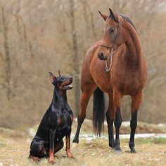 The Doberman personality in a nutshell. I just love this breed. Protective, Loyal, Playful, Curious, Loving, They truly love their family more than themselves.