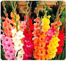 Just planted 30 burgundy and 30 yellow gladiolus in groups of five around the tree in the front of my house for Summer 2012 bloom