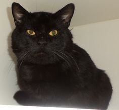"""Akron, OH. C02-018. URGENT! STILL WAITING! Summit County Animal Control Department. Petfinder link included. C02-018 is a very handsome boy!! Just look at those amazing eyes!!! He is listed as an adult, Domestic Short Hair Mix. This facility is quickly filling up, and there are quite a few """"black cats""""... Black cats are slower to get adopted from Shelters!! So please, share this bubba far and wide!!!!!!!!!!!"""