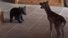 Watch a baby bear named Boog meet his new fawn friend