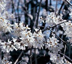 Abeliophyllum distichum (White Forsythia) full or part sun, ft, April bloom, very sweet scent Flowering Shrubs, Trees And Shrubs, Evergreen Shrubs, White Flower Farm, White Flowers, Beginning Of Spring, Early Spring, Plants Are Friends, Moon Garden