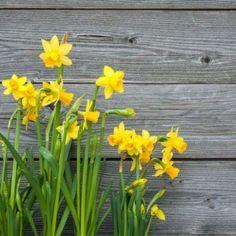 Yellow Flower Shower Curtain Daffodil Bouquet Print for Bathroom Daffodil Bouquet, Gerbera Flower, Blue Lotus Flower, Daffodil Bulbs, Hydrangea Flower, Yellow Flowers, Spring Flowers, Flower Shower Curtain, Floral Shower Curtains