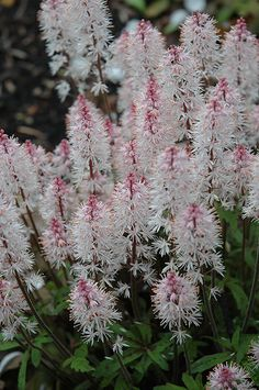 Click to view full-size photo of Spring Symphony Foamflower (Tiarella 'Spring Symphony') at Green Thumb Garden Centre