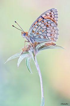Argynnis niobe--Niobe Fritillary #butterflies