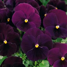 An excellent pansy for winter/spring flowering