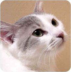 Dallas, TX - Domestic Shorthair. Meet KATIE, a cat for adoption. http://www.adoptapet.com/pet/803964-dallas-texas-cat