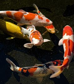 """Koi fish are the domesticated variety of common carp. Actually, the word """"koi"""" comes from the Japanese word that means """"carp"""". Outdoor koi ponds are relaxing. Koi Fish Pond, Fish Ponds, Betta Fish, Koi Art, Fish Art, Beautiful Fish, Animals Beautiful, Koi Fish Colors, Koi Painting"""