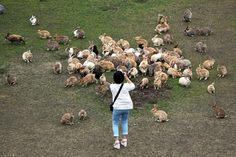 Tourists are overcome with rabbits while on a trip to Rabbit Island in Japan… Bunny Island, Rabbit Island, Wild Rabbit, Fox And Rabbit, Some Amazing Facts, Paul Brown, Japanese Landscape, Small Island, Japanese Culture