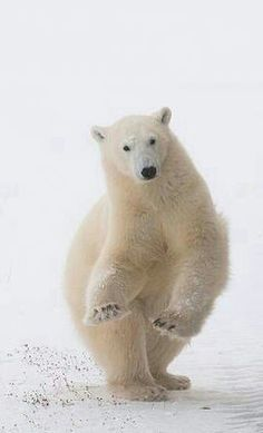 Arctic Nations commit to international plan for polar bears Animals And Pets, Cute Animals, Wild Animals, Panda, Bear Photos, We Bear, Cute Animal Pictures, Animal Quotes, Alaska