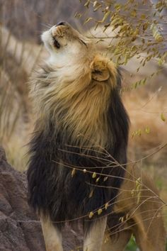 male lion looking gorgeous
